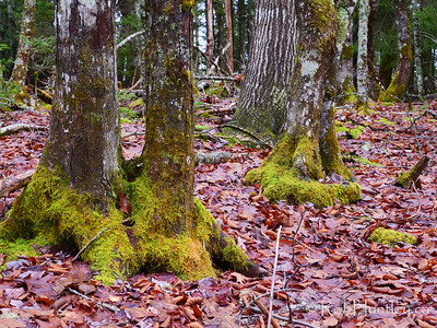 Forest Floor and Trees with Moss.