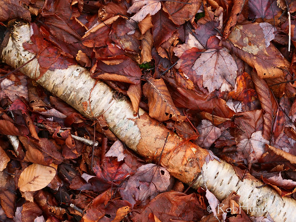 Forest floor leaf litter covering a dead birch tree.