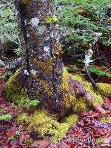 Old moss-covered tree with cracks in the trunk.