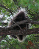 Close up of a porcupine looking down at me from above. Itasca State Park.