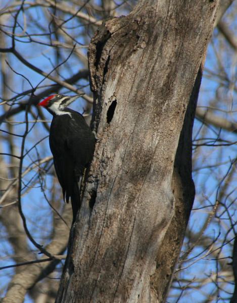 Pileated Woodpecker.
