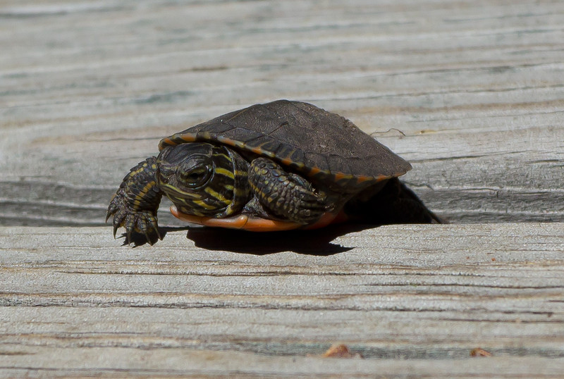 An extremely small turtle, less than an inch long.