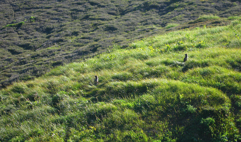 Marmots, just below Glacier Peak in the Glacier Peak Wilderness, Cascade Mountains.