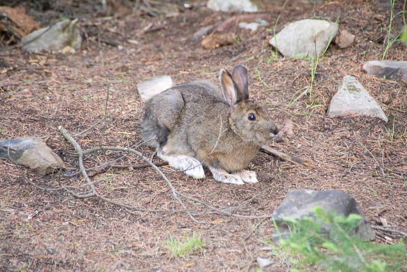 Snowshoe Hare, Quetico.