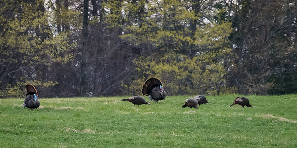 Turkeys Grazing