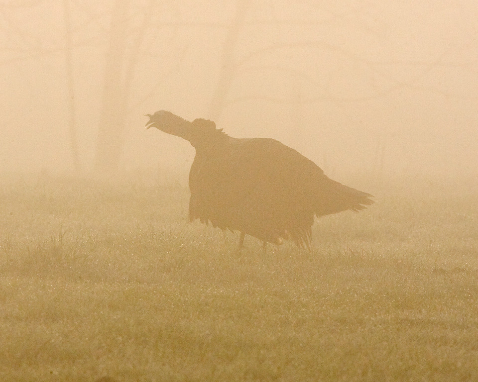 This silhouette photograph of male wild Turkey gobbling in the early morning fog was captured in the Great Smoky Mountains National Park (4/09).  This photograph is protected by the U.S. Copyright Laws and shall not to be downloaded or reproduced by any means without the formal written permission of Ken Conger Photography.