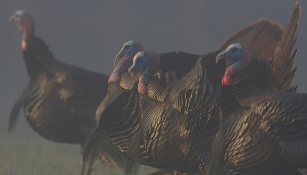 This early morning photograph of a gathering of gobblers was captured in the Great Smoky Mountains National Park (4/09).  This photograph is protected by the U.S. Copyright Laws and shall not to be downloaded or reproduced by any means without the formal written permission of Ken Conger Photography.