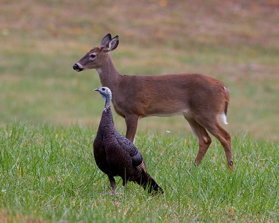 This photograph of a Deer and Turkey was captured in Great Smoky National Park (10/07).  Was photographing a turkey flock and a small herd of deer came through the same field.  Was hoping to capture a Deer and Turkey in one image and it worked out.
