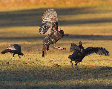 This photograph of battling Turkey gobblers was captured in Great Smoky National Park (10/07).  Watched as one of the gobblers continued to harass the other and at one point began flying in the air attempting to spur the other when this image was captured.
