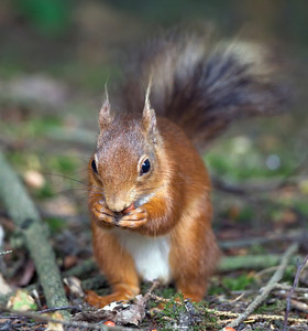 Red Squirrel, Ponteland