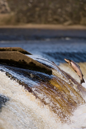 Salmon leaping up a weir