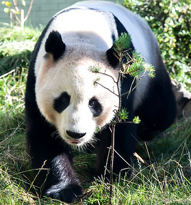 giant panda, edinburgh zoo