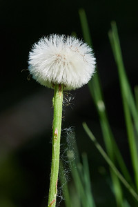 Dandelion waiting for the wind to come