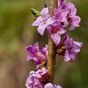 February daphne