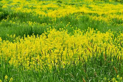 Yellow Rocket field 1
