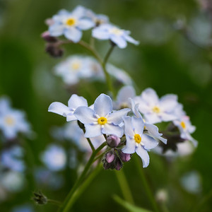 Wood forget me not
