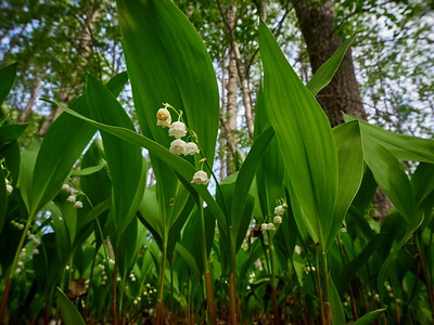 Lily of the valley 10