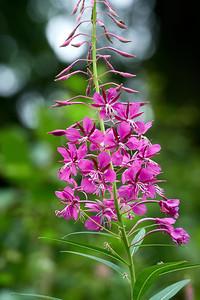 Fireweed 6