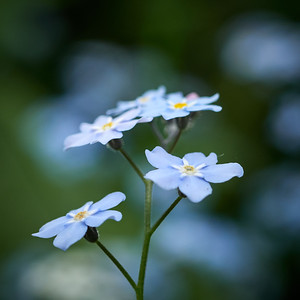 Water Forget-me-not 7