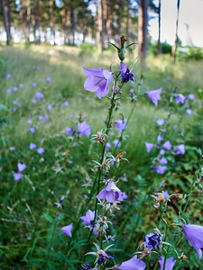 Peach leaved bellflower
