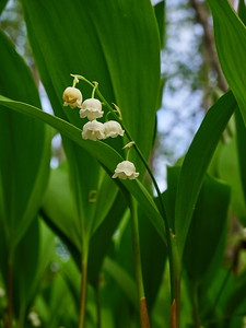 Lily of the valley 11