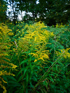 Canadian goldenrod 9