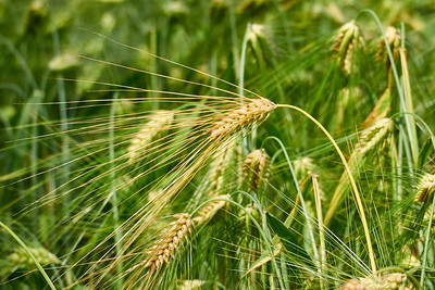 Ears of barley