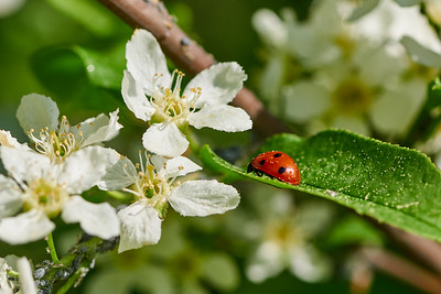 Ladybird on a Mayday tree