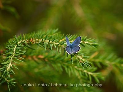 Sinisiipi (Lycaenidae) - Blue
