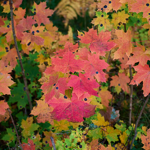 Early Fall of Norway maple