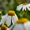 Scentless Mayweed