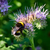 Purple tansy and a bumblebee