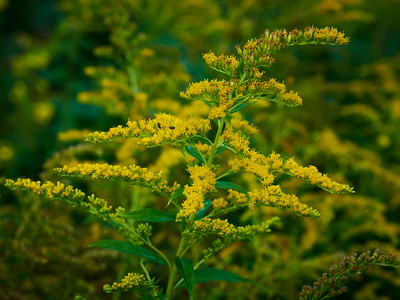 Canadian goldenrod 6