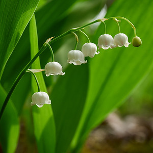 Lily of the valley 17