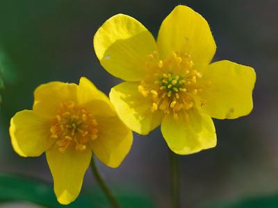 Yellow wood anemone