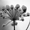 Talvikukat - Winter flowers
