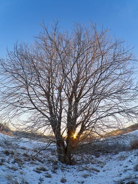 Salix