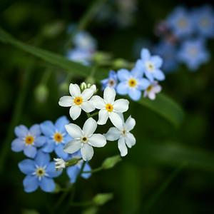 Some white some blue. Water Forget-me-not 4