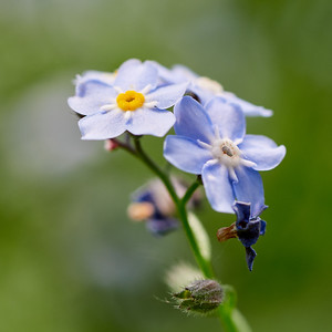 Water Forget-me-not 2
