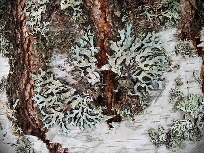 Tube Lichen