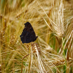 European Peacock on Barley