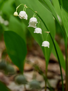 Lily of the valley 3