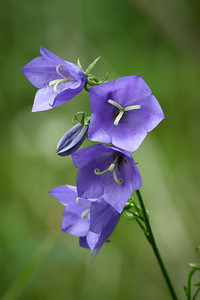 Peach-leaved bellflower 1