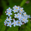 Water forget me not