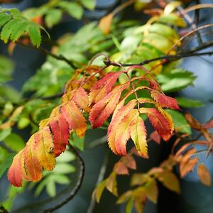 Rowan fall