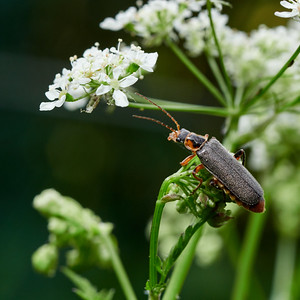 Soldier beetle on a cow parsley