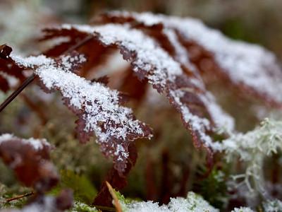 Iced Fern