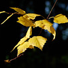 Early Fall of  Downy Birch