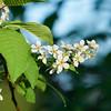 Mayday tree flowers