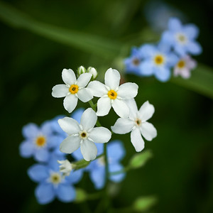 Water Forget-me-not 5